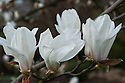 Huangshan magnolia (Magnolia cyclindrica), late March. From China in particular, Mount Huang.