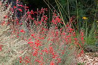 Red flowering Epilobium canum (California Fuchsia aka. Zauschneria) flowering native plant in Blake Garden