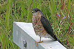 IMAGES OF THE YUKON,CANADA , WILDLIFE , SHARP-SHINNED HAWK,