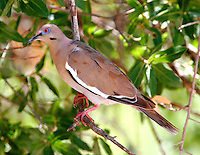 Adult white-winged dove
