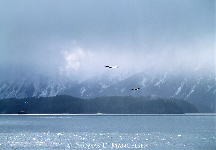 Two bald eagles flying over the water in Homer, Alaska.