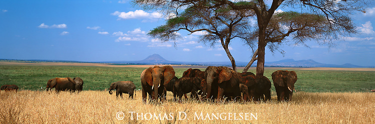 African elephants seek the shade of acacia trees in Tarangire National Park, Tanzania.