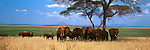African elephants seek the shade of acacia trees in Tarangire National Park, Tanzania.