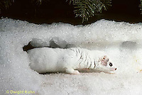 MA02-036x  Short-Tailed Weasel - ermine exploring tunnels in snow for prey in winter - Mustela erminea