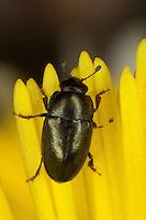 Rapsglanzkäfer, Rapskäfer als Blütenbesucher auf Huflattich, Rapsglanz-Käfer, Meligethes aeneus, Brassicogethes aeneus, pollen beetle, Glanzkäfer, Nitidulidae