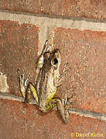 0201-0929  Cuban Treefrog on Brick Wall of House at Night Hunting for Insects (Cuban Tree Frog), Osteopilus septentrionalis  © David Kuhn/Dwight Kuhn Photography
