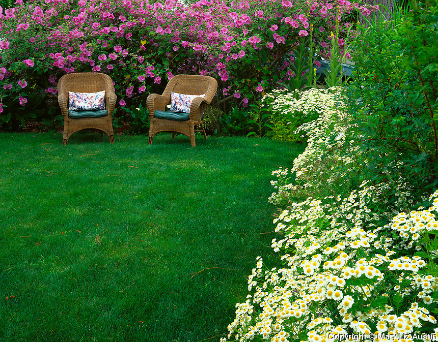 Vashon Island, WA <br /> Wicker chairs set in cottage garden with blooming lavatera and feverfew