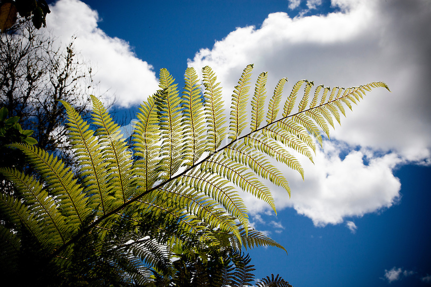Fern frond against a blue sky, New Zealand - stock photo, canvas, fine art print
