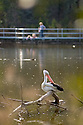 White Pelican with visitors in waterbird enclosure, Tidbinbilla Nature Reserve, ACT