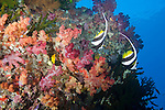 Rainbow Reef, Somosomo Strait, Fiji; a pair of Longfin Bannerfish (Heniochus acuminatus) swim above colorful soft corals and dark green Black Sun Coral (Tubastrea micrantha)