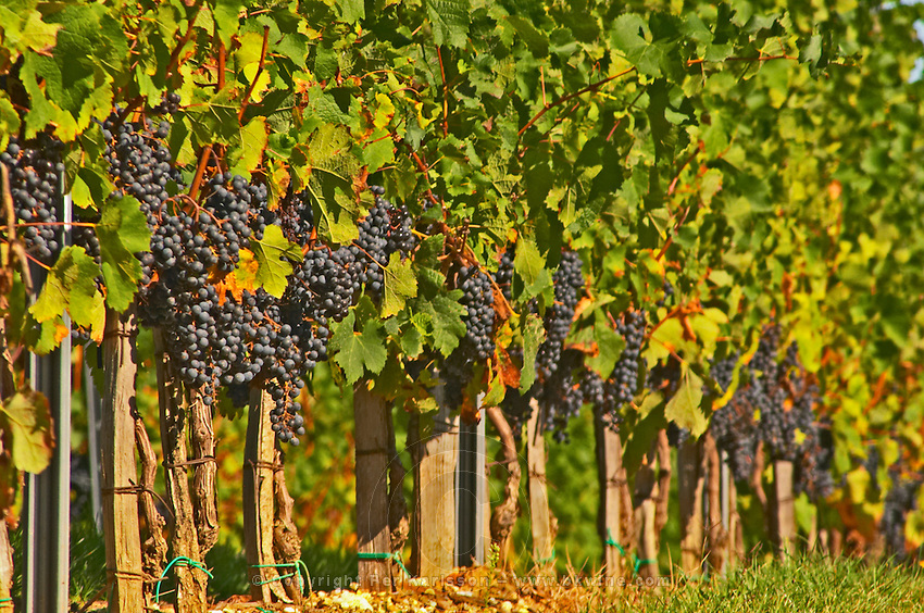 Petit Verdot grape bunches and vines - Chateau de la Tour (or Clos de La Tour), Bordeaux, now Pey la Tour