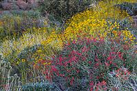 Beloperone californica or Justicia californica -Chuparosa; red flowering shrub with yellow flowering Brittlebush (Encelia farinosa) California native plant - Sonoran Desert at Anza Borrego California State Park