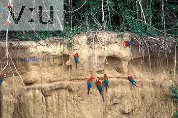 Red-and-Green Macaws ,Ara chloroptera, collecting clay at colpa, Many National Park, Peru.
