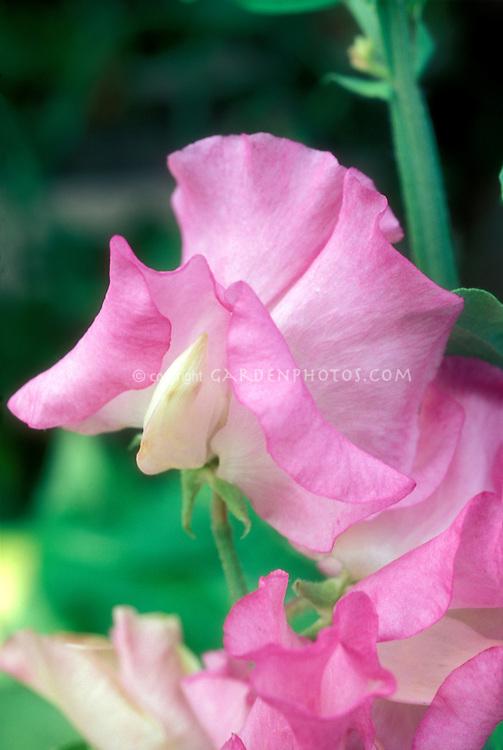 Lathyrus 'Gwendoline' sweetpeas pink fragrant annual flower sweet peas