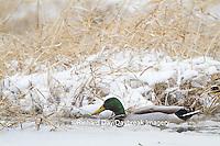 00729-02218 Mallard (Anas platyrhynchos) male in wetland in winter, Marion Co. IL