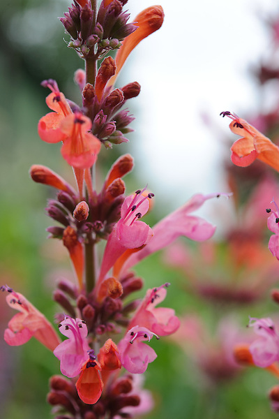 Agastache 'Painted Lady'
