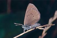 Dunkler Wiesenknopf-Ameisenbläuling, Schwarzblauer Bläuling, Schwarzblauer Moorbläuling, Phengaris nausithous, Maculinea nausithous, Glaucopsyche nausithous, dusky large blue, L'Azuré des paluds, Bläulinge, Lycaenidae