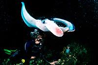 scuba diver and reef manta ray, Manta alfredi, feeding at night, Kona, Big Island, Hawaii, Pacific Ocean