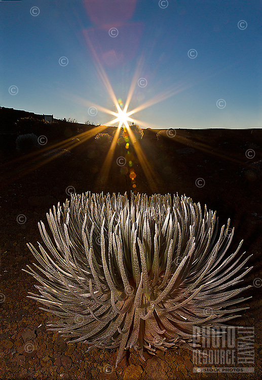 Sunrise at Haleakala, with a silversword plant in the foreground, Maui.