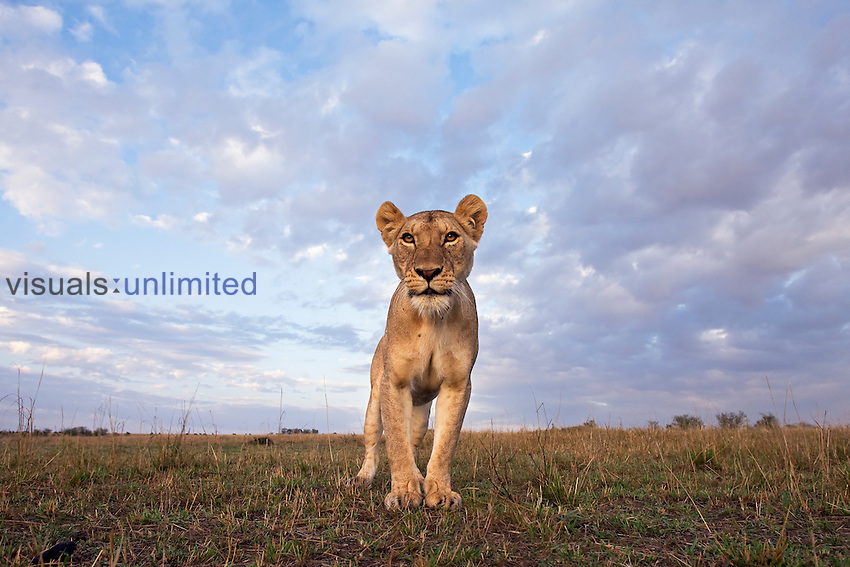 Young African Lion (Panthera leo), Masai Mara, Kenya.