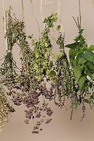 Kräuter trocknen, Kräuterstrauss, Kräuterstrauß, Trockenstrauss, Trockenstrauß, Wildkräuter zum Trocknen aufgehängt, Ernte, Kräuterernte, Kräuterkunde, bouquet of herbs, bunch of herbs, herbology. Blutweiderich, Blut-Weiderich, Lythrum salicaria, Purple Loosestrife, Spiked Loosestrife, Salicaire. Oregano, Oreganum, Wilder Dost, Echter Dost, Gemeiner Dost, Origanum vulgare, Oregano, Wild Marjoram. Schafgarbe, Wiesen-Schafgarbe, Schafgabe, Achillea millefolium, Common Yarrow. Echte Kamille, Matricaria recutita, Syn. Chamomilla recutita, Matricaria chamomilla, German Chamomile, wild chamomile, scented mayweed. Große Brennnessel, Brennessel, Urtica dioica, Stinging Nettle. Hopfen, Humulus lupulus, Common Hop.