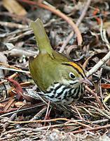 Ovenbird adult