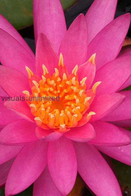Hybrid Water Lily.Kentucky