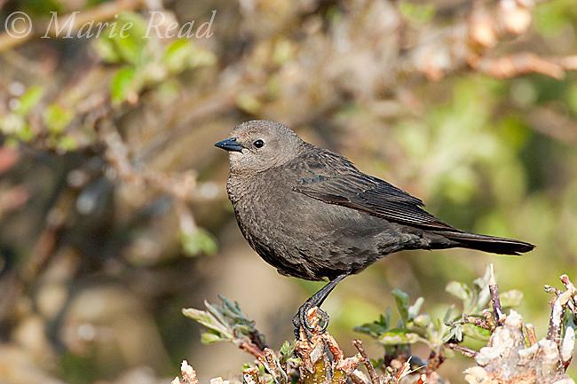 Brewer's Blackbird (Euphagus cyanocephalus) female, Lee Vining, California, USA