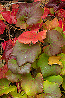 Grape leaves in autumn