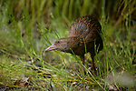 Weka in Doubtful Sound. Fiordland National Park. New Zealand