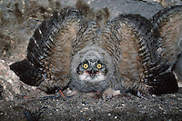 A Great Horned owl displays a threatening defense posture.