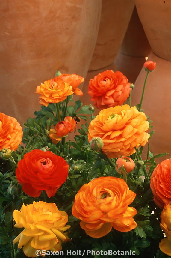 Ranunculus asiaticus 'Tangerine' (Persian Ranunculus, Buttercup) flower bulb