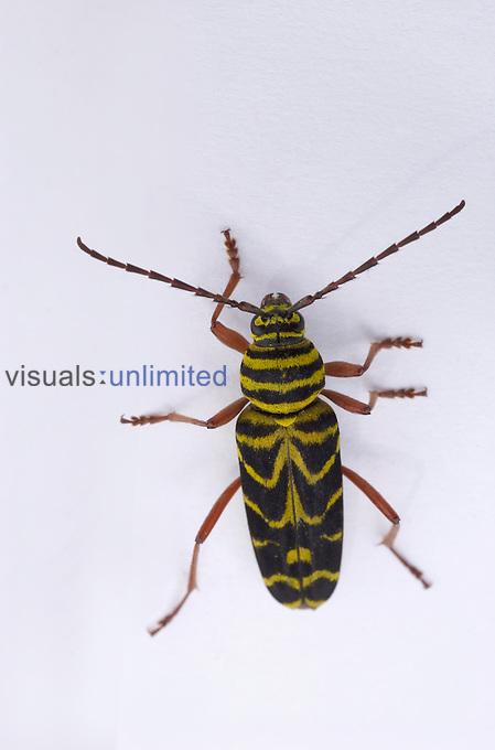 Locust Borer Beetle (Megacyllene robiniae), Virginia, USA.