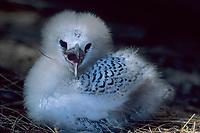red tailed tropicbird, Phaethon sp., Midway Atoll, Papahanaumokuakea Marine National Monumen, Northwestern Hawaiian Islands, or Leeward Islands, Hawaii, USA
