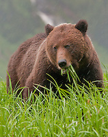 Grizzly Bear eating grass during a rainstorm in the Khutzeymateen Valley