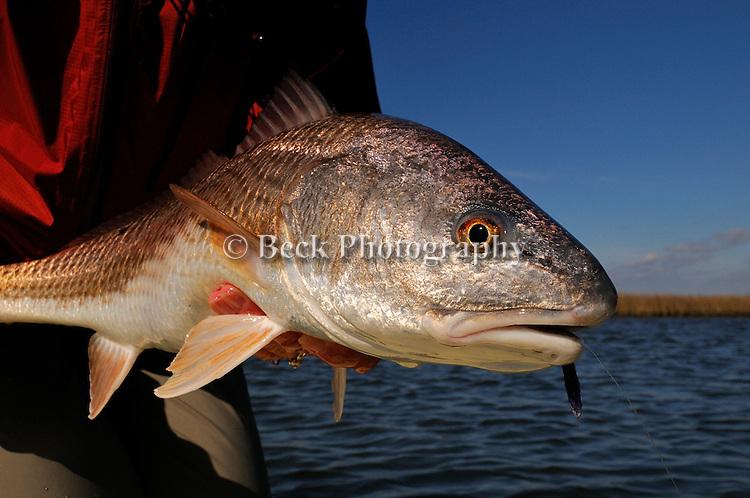 REDFISH CAUGHT FLY FISHING IN LOUISIANA