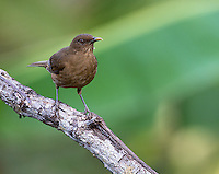 The clay-colored thrush is, believe it or not, Costa Rica's national bird.