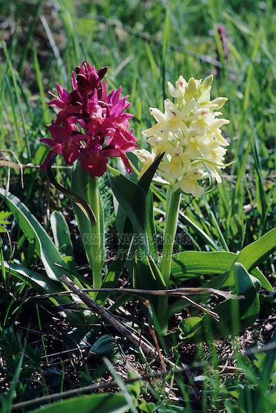 Elder-flowered Orchid, Dactylorhiza sambucina, two color variations blooming, Alps, Switzerland, June 1995