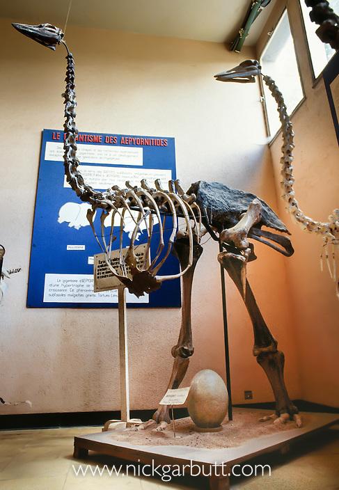 Skeleton of Giant Elephant Bird (Aepyornis maximus). Museum at Parc Tsimbazaza, Antananarivo, Madagascar.