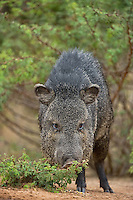 650520227 a wild javelina dicolytes tajacu on santa clara ranch in the rio grand valley hidalgo county texas united states