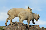 Mountain Goat Kids Playing