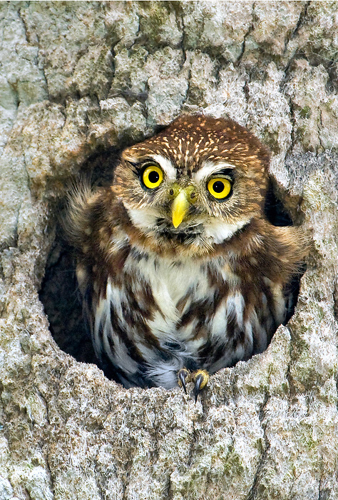 563990061a a wild ferruginous pygmy owl glassidium brasilianum peers out from a cavity nest in a tree on a private ranch in tamaulipas state mexico