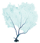 X-ray image of a purple sea fan (green on white) by Jim Wehtje, specialist in x-ray art and design images.