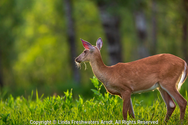 A white-tailed doe's whiskers highlighted by the early evening light in a Wisconsin field.