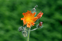 FOX-AND-CUBS Pilosella aurantiaca (Asteraceae) Height to 40cm. Variable and spreading perennial, similar in many respects to Mouse-ear Hawkweed, except for the flower colour. Note that the stems are leafy and coated in blackish hairs. Grows in grassy places, and on verges and banks. FLOWERS are borne in heads, 2-3cm across, with reddish orange florets; carried in clusters (Jun-Jul). FRUITS have unbranched hairs. LEAVES are lanceolate, hairy and arranged in a basal rosette. STATUS-Introduced and familiar as a garden but widely naturalised as well.