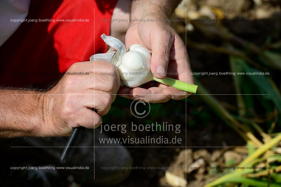 GERMANY Witzenhausen, garlic farming at farm, cultivation of different and old varieties / DEUTSCHLAND, Witzenhausen, Knoblauch Anbau und Ernte bei Gregor Schmitz, Anbau verschiedener und alter Knoblauchsorten, frische Knollen zum Verkauf
