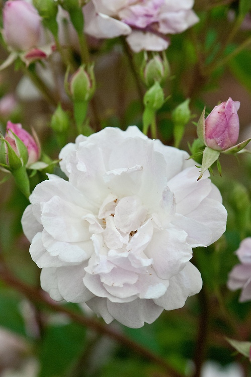 Rosa 'Blush Noisette', early July. A Noisette climbing rose in pale blush pink. Dates back to the late 18th or early 19th century.
