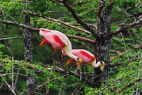 Roseate spoonbills (Ajaia ajaja) in cypress tree, Atchafalaya River Basin, Louisiana.  April.