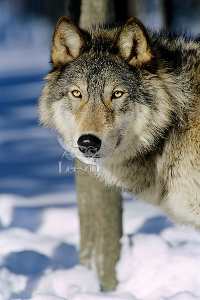 Gray wolf (Canis lupus) male--note broadness of head.