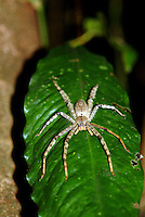 Sparassidae (formerly Heteropodidae) are a family of spiders known as huntsman spiders because of their speed and mode of hunting. They also are called giant crab spiders, because of their size and appearance.